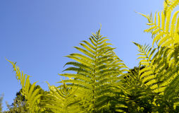 Fern verdant twig leaves on background of blue sky. Fern verdant twigs leaves on background of blue sky stock images