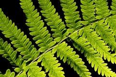 Fern verde Imagens de Stock Royalty Free