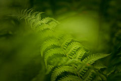 The fern. A very green fern in the wood Royalty Free Stock Photography