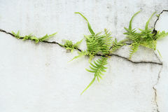 Fern on vintage wall, Fern background and empty area for text, Nature on white background Royalty Free Stock Photos