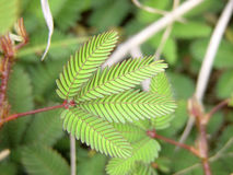Fern. In volcano national-park Hawaii green symmetry plant 4 Royalty Free Stock Photo