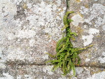 Fern on wall Royalty Free Stock Photography