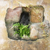 Fern in wall. A fern growing out of a hole in a wall of an old fort stock photography