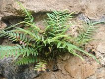 Fern on the wall Stock Photography