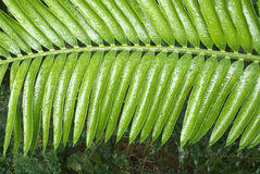 Fern with Water Drops Stock Photo
