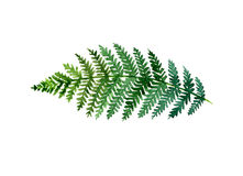 Fern. Watercolor fern on white background Royalty Free Stock Image