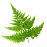 Fern  on white Stock Photography