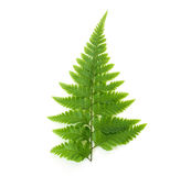 Fern  on white Royalty Free Stock Photography