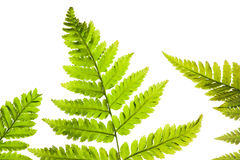 Fern on a white background Stock Image