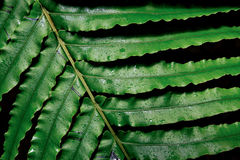 fern wielki liści, Zdjęcie Stock