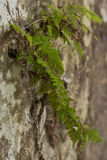 Fern in Wild Royalty Free Stock Photography