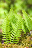 Fern in wood Royalty Free Stock Images