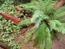 Fern and wood in an Oregon Forest. A large green sword fern with brown pieces of wood on an Oregon forest floor Stock Photo