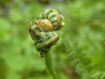 Fern. A young fertile green fern Stock Photos