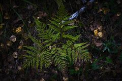 Fern young plant in dark forest background Stock Photography