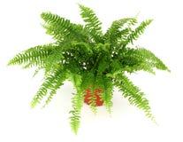 fern zioło