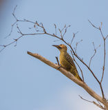 Fernandina's Flicker on a branch Stock Images