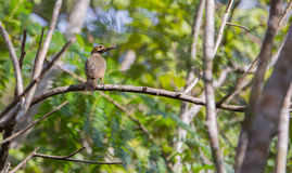 Fernandina's Flicker in the cuban rainforest. The endemic Woodpecker species, Fernandina's Flicker (Colaptes fernandinae) sits on a branch in the cuban royalty free stock images