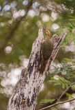 Fernandina's Flicker on dead log Stock Photos