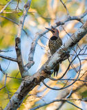 Fernandina's Flicker on dead log Royalty Free Stock Photo