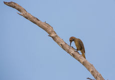 Fernandina's Flicker feeding on a dead branch Royalty Free Stock Photography