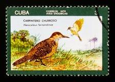 Fernandinae cubani del Colaptes della luce intermittente, serie locale degli uccelli, circa 1976 Immagine Stock