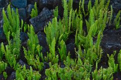 Fernes in Lava Rock. Ferns growing in lava rock on the Big Island of Hawaii Stock Photo