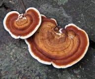 fernissa för tsugae för ganodermahemlockhylla Royaltyfri Bild
