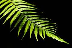 fernleaf Fotografering för Bildbyråer