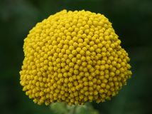 Fernleaf Yarrow (Achillea filipendulina) Royalty Free Stock Photos