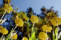 Fernleaf yarrow flowers Achillea filipendulina. Photography of fernleaf yarrow flowers with trees and blue sky in the background Stock Photography