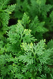 fernleaves Royaltyfria Bilder