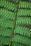 fernormbunksbladmakro Fotografering för Bildbyråer