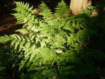 Fernplant in de tuin Royalty-vrije Stock Foto