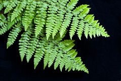 Ferns Royalty Free Stock Photography