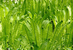Ferns. Closeup of some ferns where the sun comes from behind and lights them up Royalty Free Stock Image
