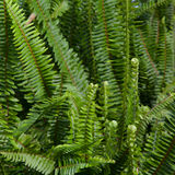 Ferns. Close up image of random cluster of ferns stock image