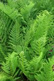 ferns 2 Royalty Free Stock Image