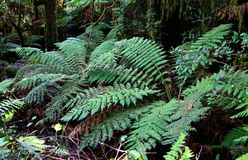Ferns. Tree ferns under the main canopy of oxley world heritage rainforest stock photography