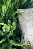 Ferns. Trunk of a dead tree with ferns Stock Photography