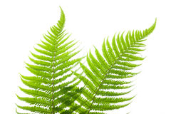 Ferns. Two ferns isolated on white stock photos
