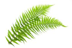 Ferns. Two ferns isolated on white royalty free stock photo