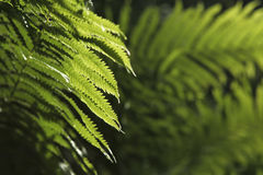 Free Ferns Royalty Free Stock Photography - 30544597