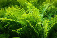 ferns Royaltyfria Bilder