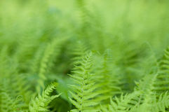 ferns Royaltyfri Foto