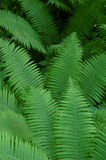 Ferns Foto de Stock Royalty Free