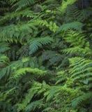 ferns Royaltyfria Bilder