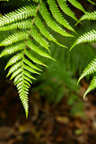 Ferns. Closeup of lush green ferns royalty free stock photography