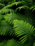Ferns. A view of garden ferns royalty free stock photography