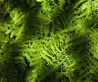ferns Foto de archivo